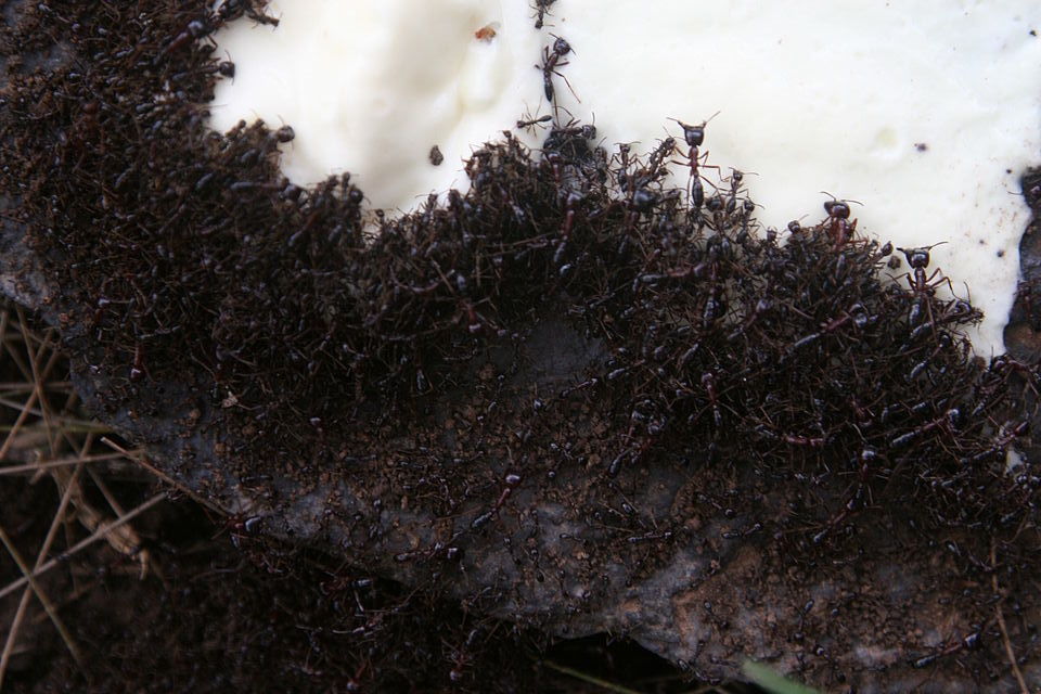 "Mesmerizing yet horrifying ""driver ants"" make army ants look like boy scout ants."