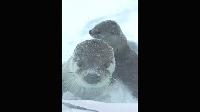 This weekend, these ridiculously cute sea otters became ridiculously cute snow otters.