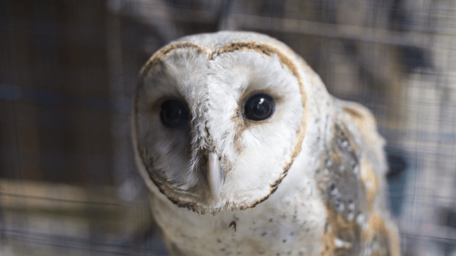 Canadian couple learns their owl ring bearer is susceptible to windows, common enemy of all birds.