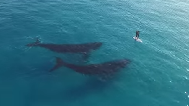 Paddle boarding with whales will make you feel a weird kind of blissed-out vertigo.