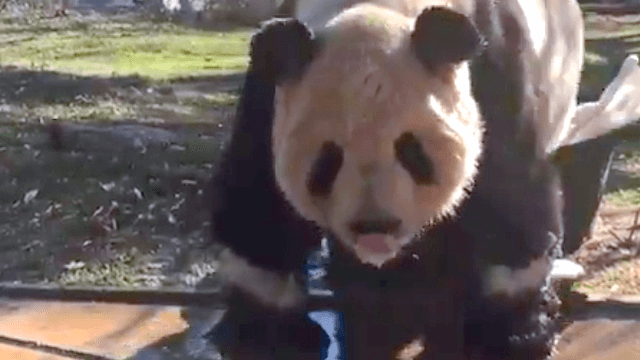 Panda taking a bubble bath in a too-small tub will make you briefly stop picturing Ted Cruz naked.