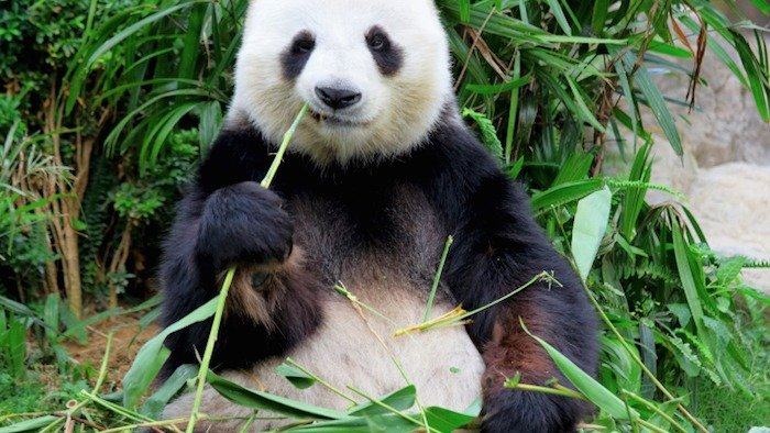 Why would God make this? Week 2: The Giant Panda
