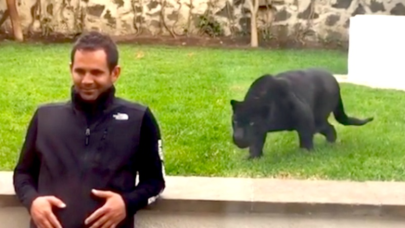 """Huge black panther stalks man and gets ready to """"attack,"""" but it's okay because they're friends."""
