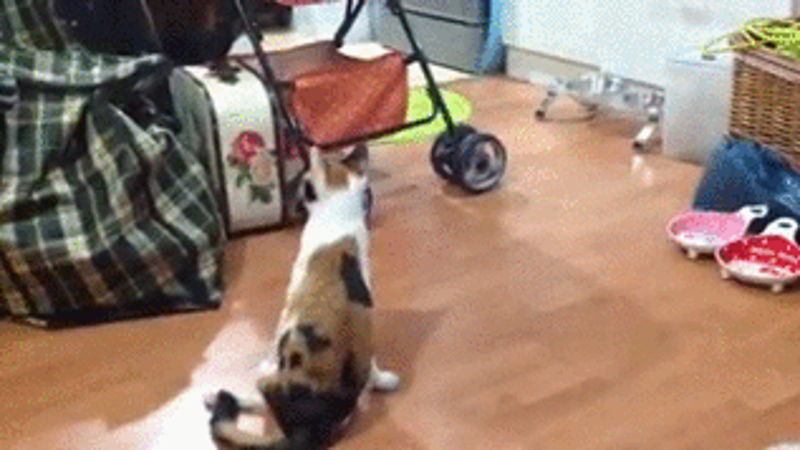 Forget your sh*tty week with this partially paralyzed cat that loves to play.