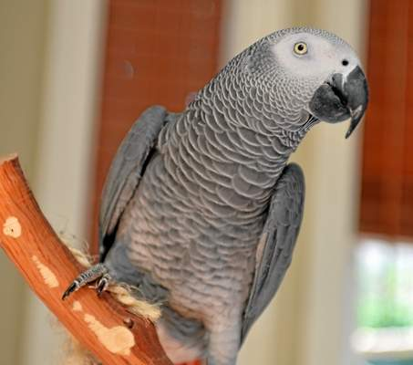 Parrot with English accent goes missing for four years, returns home speaking Spanish.