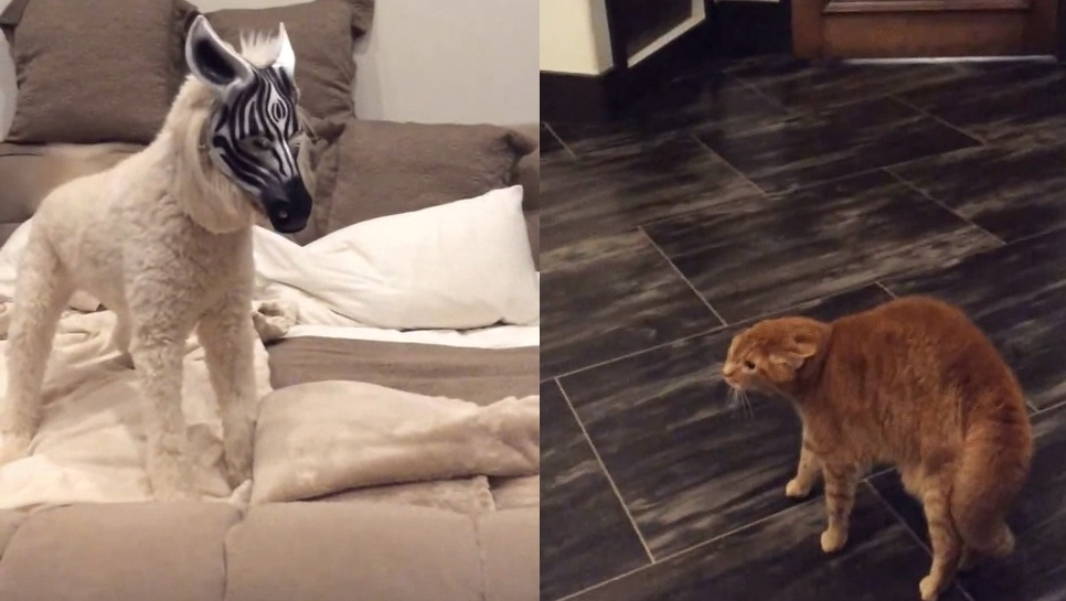 PetProTip: Putting a zebra mask on your dog will make your cat think he took LSD.