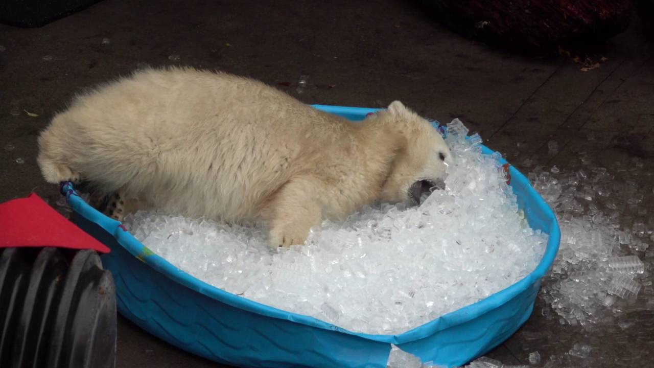 This 1-year-old polar bear has no idea what's in the news and is just frolicking in a tub of ice.