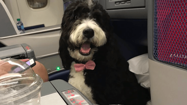 Political pundit whines about having to sit next to adorable dog on plane. Twitter destroys him.