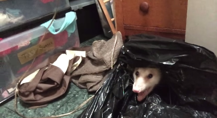 Woman tries to remove devil possum from her closet only to find a special surprise.
