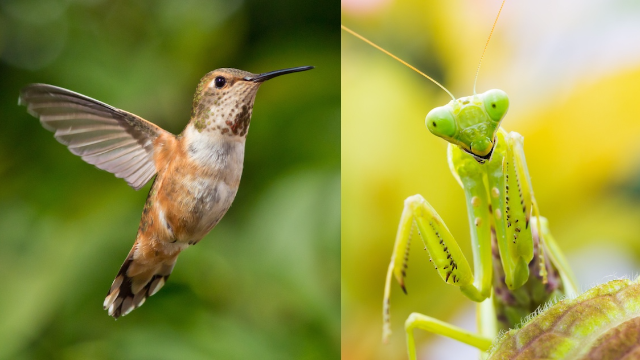 Praying mantises are apparently killing birds and eating their brains. Nature is terrifying.