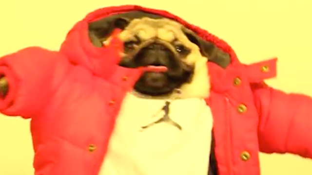 The owner of this pug went to a lot of trouble to recreate Drake's 'Hotline Bling' video. Worth it.