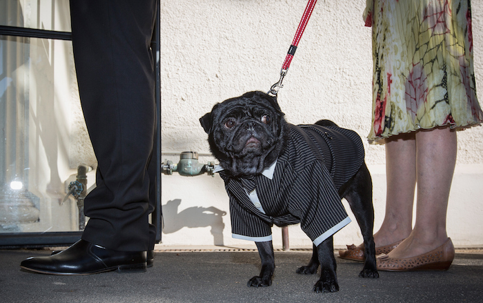 Wouldnt You Rather Go To A Pug Wedding Than A People Wedding