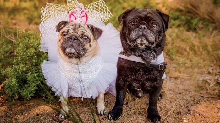 Wouldn't you rather go to a pug wedding than a people wedding?