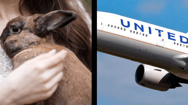 One of the world's most prestigious rabbits just mysteriously died on United Airlines.