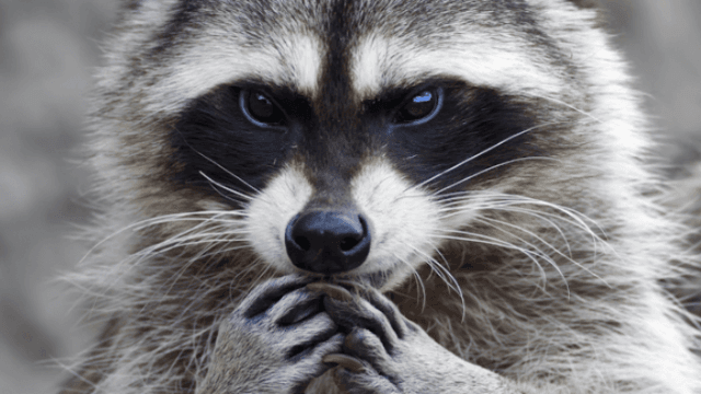 A raccoon ate too much and got stuck in a sewer grate. The internet relates.