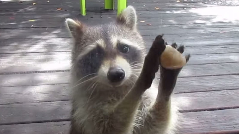This raccoon has figured out the most effective and annoying way to get a human's attention.