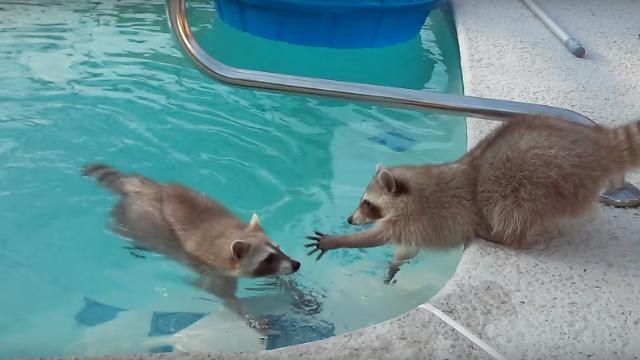 Today's greatest dramatic film is these raccoons in a swimming pool.