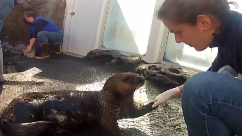 Would you like to see a sea otter learn to use an inhaler? Yes, of course you would.