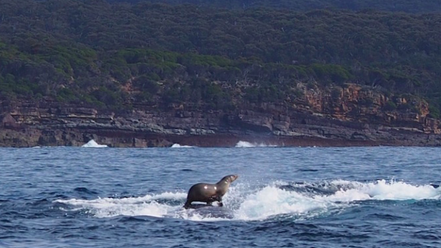 Footage of a seal riding a whale like a surfboard will inspire you to shred some gnar.