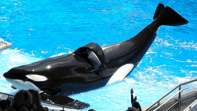 Following death of Tilikum, SeaWorld says it will end killer whale shows once and for all.