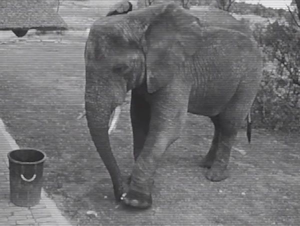 Security camera footage shows an elephant picking up trash and putting it in a garbage can.