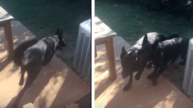Smart dog knows how to fetch his own brother.
