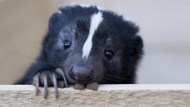 Image result for skunk