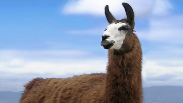 This guy's brain melts after a random encounter with a goat and a llama on a city street.