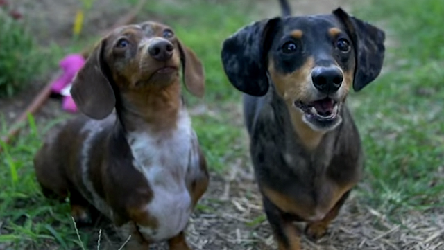 Somebody improved 'Jurassic World' by replacing all the dinosaurs with wiener dogs.