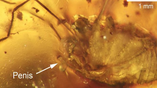 'Fully aroused' daddy longlegs preserved in amber for 99 million years.