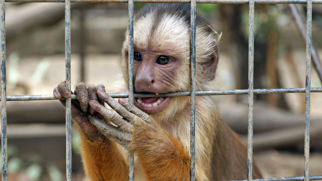 Watch these monkeys accidentally 'kill' and then mourn a dead robot monkey. It's super sad.