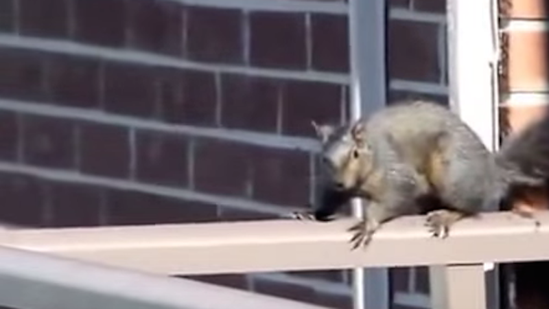 Hold your lunch as squirrel with nuts of steel takes gut-wrenching dive off skyscraper.