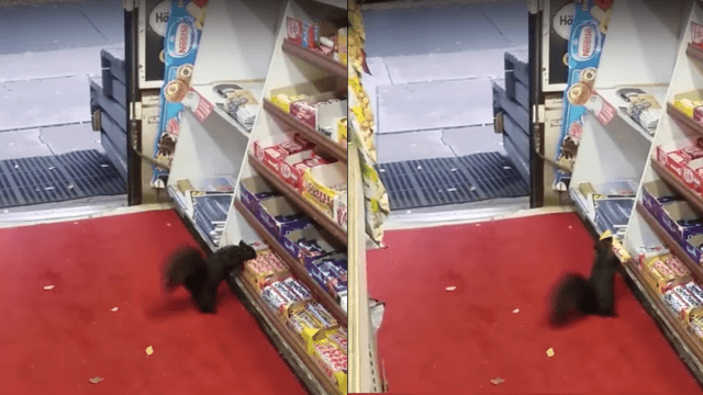 Thieving squirrels terrorize Canadian convenience store.