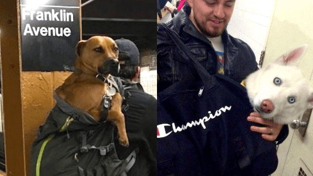 NYC subway bans dogs unless they 'fit in a bag.' Challenge accepted.
