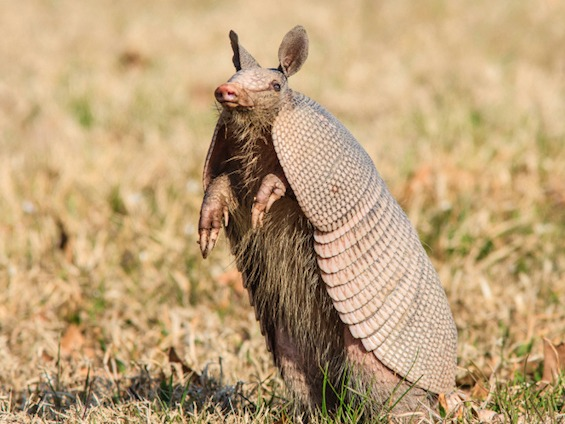 Man blames shooting his mother-in-law in the back on an armadillo.