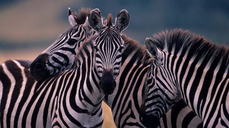 Three zebras escaped from a ranch and ran through this city.