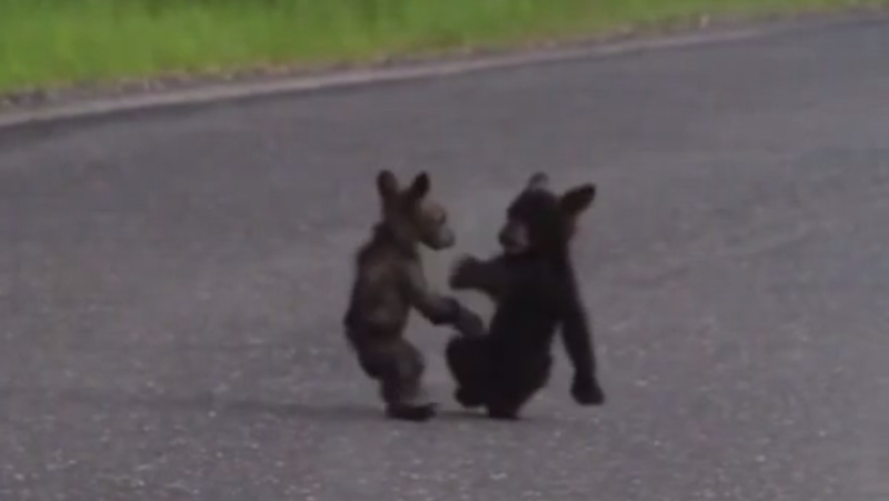 This bear cub boxing match is adorable enough for Pay-Per-View, but here it is for free.