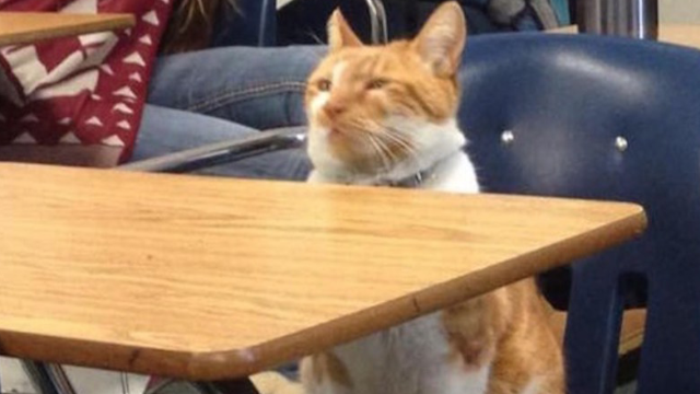 This cat doesn't know how much he's amusing humans by voluntarily attending school.