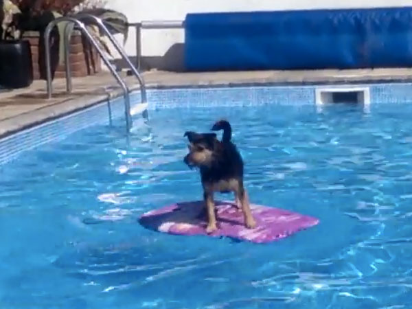 This dog surfing across a swimming pool is a reminder that you will one day be warm again.