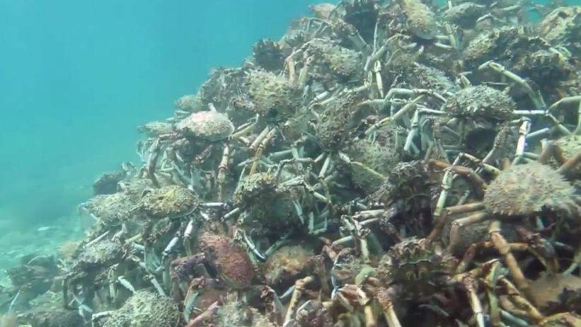 This giant pile of spider crabs raging to dubstep is the perfect thing to get you PUMPED.