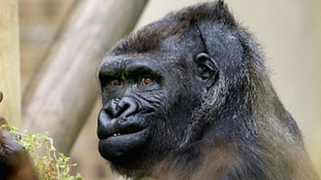 This gorilla is doing what we're all thinking.