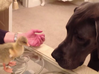 This Great Dane is seriously weirded out by a baby goose.