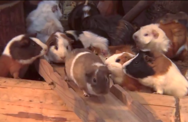 This music video about guinea pigs on a bridge is the most joyful thing you'll watch today.