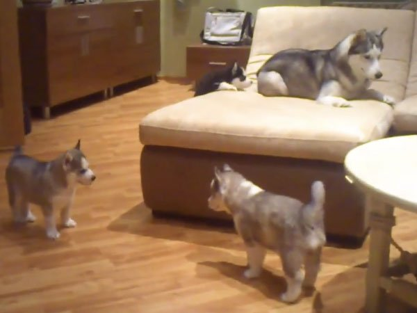 This mother husky playing with her puppies is a quick reminder that dogs are awesome.