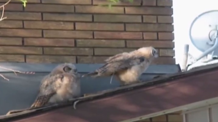 This owl pooping on his friend and running away is all I ever wanted from a web video.