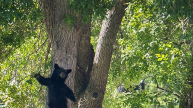 This picture of a bear falling from a tree in Colorado is pure magic.
