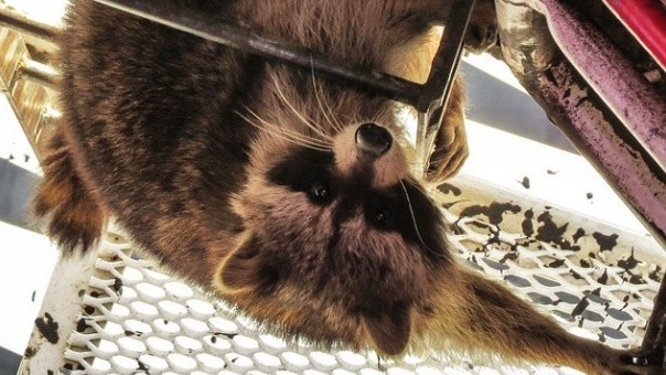 This raccoon climbed 700 feet up a construction crane, and then he pooped there.
