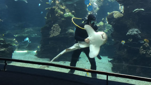 This shark loves getting his belly rubbed just like a dog.