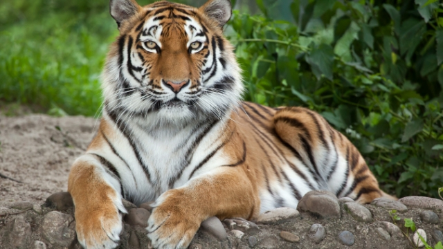 A tiger tested positive for coronavirus and people are making 'Tiger King' jokes.