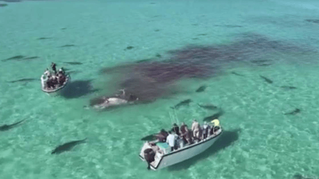 This tiger shark feeding frenzy will make you want to celebrate beach season indoors.